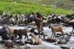Goat herd in Himalayas