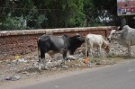 cows recycle