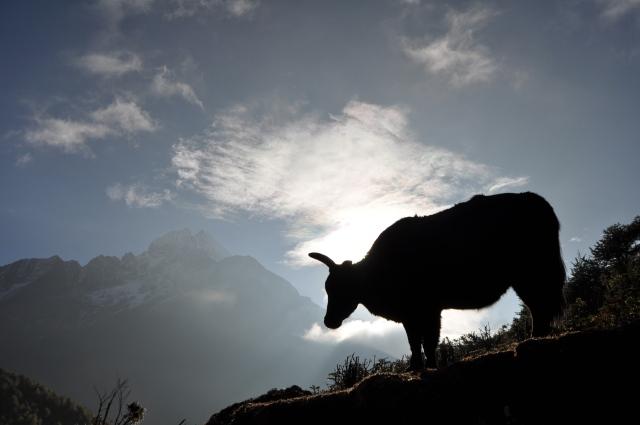 yak in everest region