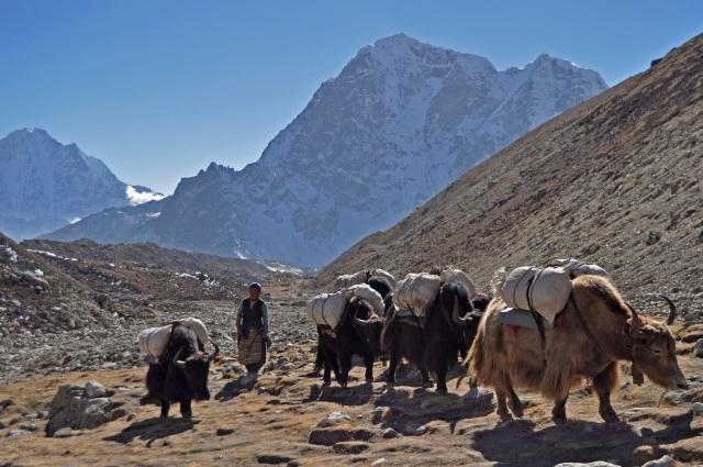 yak driver