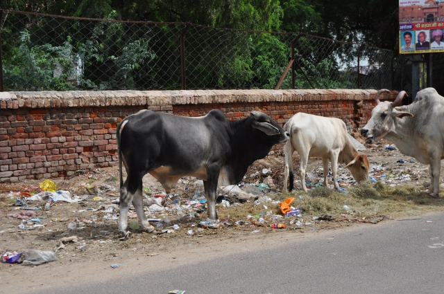 Cows & Trash in India